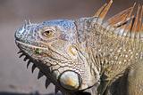 Costa Rica a Green Iguana