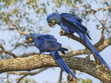 Brazil  Pantanal  Mato Grosso Do Sul a Pair of Hyacinth Macaws L