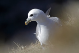 Northern Fulmar Perched