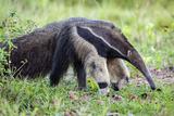 Brazil  Pantanal  Mato Grosso Do Sul the Giant Anteater or Ant Bear