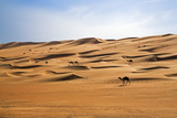 Oman  Wahiba Sands Camels Belonging to Bedouins Cross Sand Dunes in Wahiba Sands