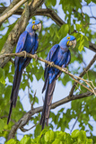Brazil  Pantanal  Mato Grosso Do Sul a Pair of Hyacinth Macaws