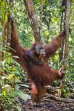 Indonesia, Central Kalimatan, Tanjung Puting National Park. a Male Orangutan Calling. Papier Photo par Nigel Pavitt