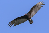Brazil  Pantanal  Mato Grosso Do Sul a Turkey Vulture in Flight
