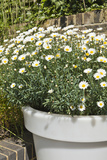 Planter with Marguerites in the Garden  London