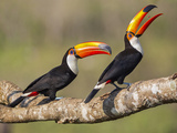 Brazil  Pantanal  Mato Grosso Do Sul a Pair of Spectacular Toco Toucans Feeding