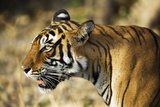 India  Rajasthan  Ranthambore Profile of a Tigress