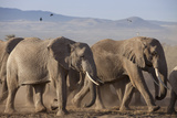 Kenya  Amboseli National Park a Breeding Herd of Elephant