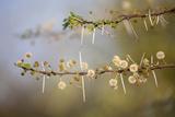 Kenya  Shaba National Park Acacia Tree in Bloom