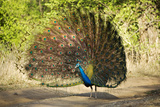 India  Rajasthan  Ranthambore a Peacock Displaying