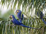 Brazil, Pantanal, Mato Grosso Do Sul. Hyacinth Macaws Roosting in a Palm. Papier Photo par Nigel Pavitt