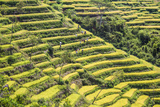 Indonesia  Flores Island  Bajawa Farmers Harvest Rice on Terraced Rice Fields Near Bajawa