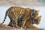 India  Rajasthan  Ranthambhore a Female Bengal Tiger with One of Her One-Year-Old Cubs