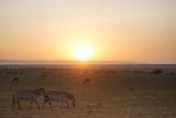 Kenya  Mara North Conservancy Plains Game Graze in Morning Light  Mara North Conservancy