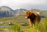 Uk  Scotland  Outer Hebrides  Harris Highland Cow in the Wild  Aline Estate