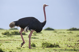 Kenya  Narok County  Masai Mara National Reserve a Common Ostrich Strides across Open Plains