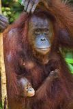 Indonesia, Central Kalimatan, Tanjung Puting National Park. a Mother and Baby Bornean Orangutan. Papier Photo par Nigel Pavitt