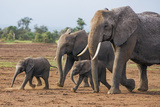 Kenya  Kajiado County  Amboseli National Park a Family of African Elephants on the Move