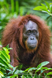Indonesia, Central Kalimatan, Tanjung Puting National Park. a Female Bornean Orangutan. Papier Photo par Nigel Pavitt