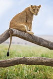 Kenya  Meru County  Lewa Wildlife Conservancy a Lioness Sitting on the Branch of a Dead Tree