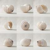 Seashell Chorus
