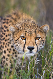 Kenya  Lewa Conservancy  Meru County a Sub-Adult Cheetah Stalking its Prey in Lewa Conservancy