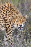 Kenya  Lewa Conservancy  Meru County a Sub-Adult Cheetah on the Prowl in Lewa Conservancy