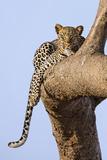 Kenya  Taita-Taveta County  Tsavo East National Park a Leopard Lying on the Branch of a Tree