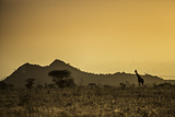 Kenya  Meru a Giraffe Wanders across the Savannah in the Evening Light