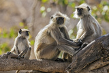 India  Rajasthan  Ranthambhore a Family of Gray Langurs