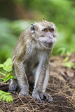 Indonesia  Flores Island  Moni a Long-Tailed Macaque Monkey in the Kelimutu National Park