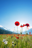 Europe  France  Haute Savoie  Rhone Alps  Poppy Field