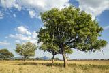 Uganda  Kidepo Sauage Trees (Kigelia Africana) in Grasslands of Kidepo Valley National Park
