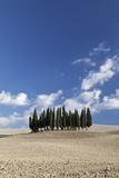 Cypress Trees Near San Quirico D'Orcia  Tuscany  Italy
