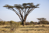 Kenya  Shaba National Park a Magnificent Acacia Tortilis