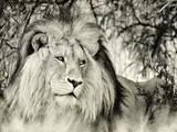 Moketsi Lion