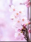 Pink Cherry Blossom Japan