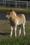 Miniature Horse 001