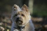 Cairn Terrier 17