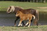 Miniature Horse 002