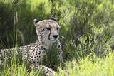African Cheetah 011