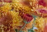 Flaming Fall Mums