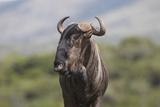 African Wildebeest 01