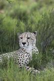 African Cheetah 014