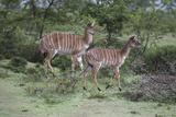 African Nyala 07
