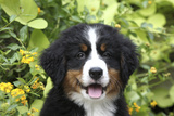 Bernese Mountain Dog 08