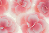 Rose Begonia Flowers