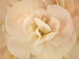 Amber Begonia Flower