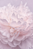 Pink Peony Petals I