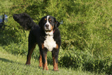 Bernese Mountain Dog 21